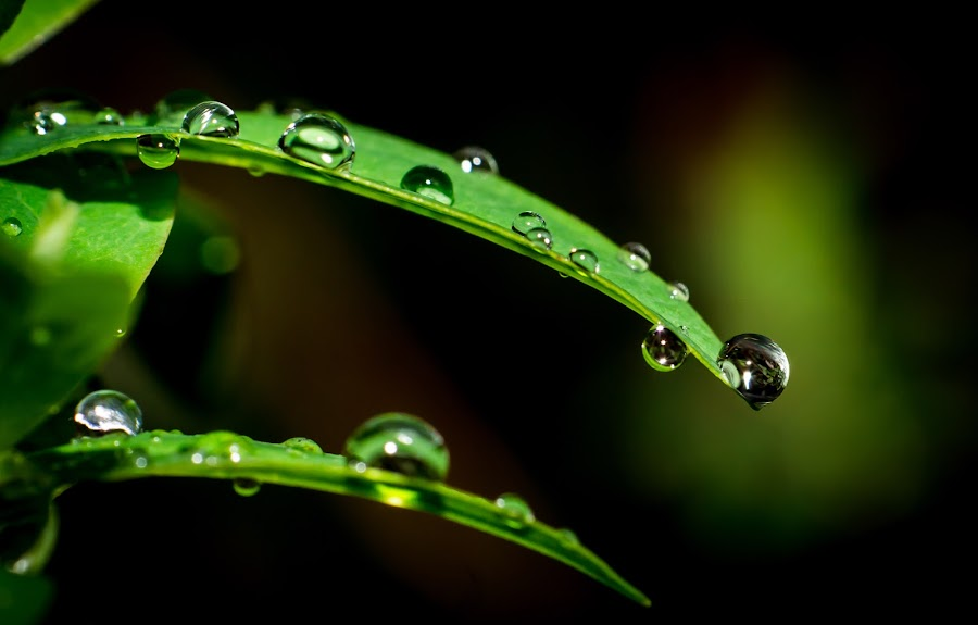 Angels tears by Ron n'Roll - Nature Up Close Leaves & Grasses ( green, leaf, fresh, life, water drops,  )