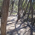Track through melaleuca trees (104971)