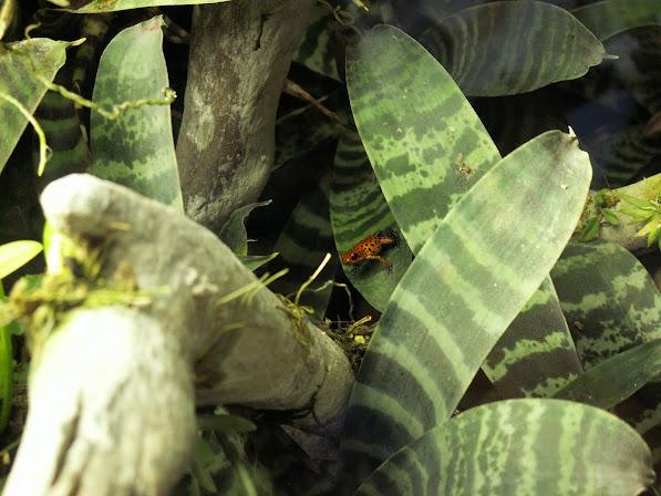 Faire un terrarium avec quelles plantes? Oophaga+pumilio+m%25C3%25A2le