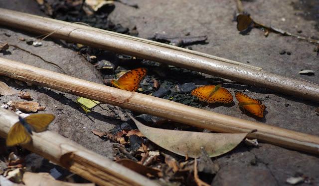 À gauche : Sevenia amulia CRAMER, 1777. Au centre : Phalanta eurytis DOUBLEDAY, 1847. Ebogo (Cameroun), 8 avril 2012. Photo : J.-M. Gayman
