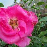 Gardening 2014 - 116_2611.JPG