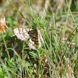 Geometridae : Ennominae : Chiasmia clathrata (LINNAEUS, 1758). Les Hautes-Lisières (Rouvres, 28), 23 août 2012. Photo : J.-M. Gayman