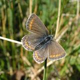 Polyommatus eros vasilyi TSHIKOLOVETS, 1995. Kara Say (3550 m), Koksaal Alatau, Kyrgyzistan), 12 juillet 2006. Photo : J. Michel