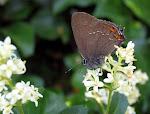 Egesommerfugl - Satyrium ilicis.jpg