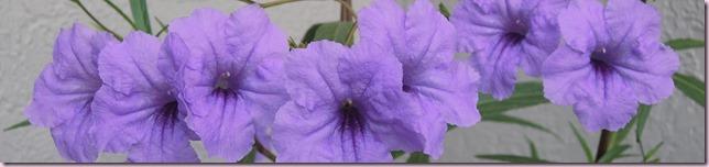 petuniasDSCN2518