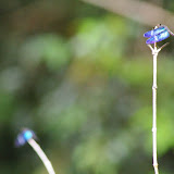 Libellulidae : Zenithoptera fasciata LINNAEUS, 1758. Piste de Coralie (Guyane). 28 novembre 2011. Photo : J.-M. Gayman