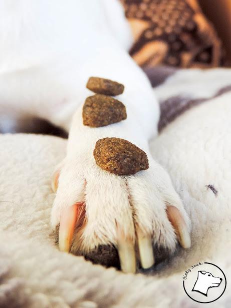 arden grange, biały jack russell terrier, test karmy, karma dla psa