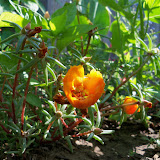 Gardening 2011 - 100_7906.JPG