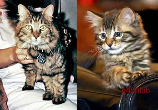 kucing-klon-little-nicky