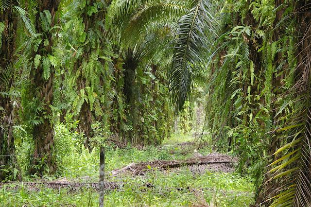 Plantation de palmiers à huile. Sukau, 5 août 2011. Photo : J.-M. Gayman