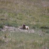 Marmotte (3400 m), 11 juillet 2006. Photo : J.-M. Gayman