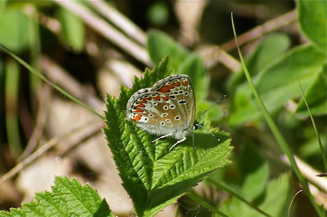 Aricia agestis DENIS & SCHIFFERMÜLLER, 1775. Hautes-Lisières (Rouvres, 28), 13 mai 2011. Photo : J.-M. Gayman