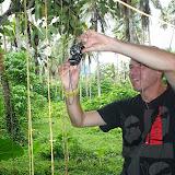 Chrysalide d'Ornithoptera croesus lydius. Halmahera (Moluques, Indonésie), 19 septembre 2013. Photo : Eko Harwanto