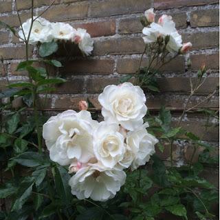 Witte klimroos bij Alba Rose