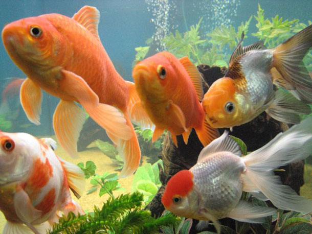 Facts around us what do you know about goldfish for How much is a fish tank