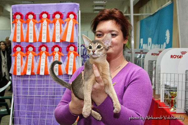 Shafran Chetana Vivasvat, абиссинский котенок