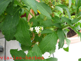 fleurs de stévia.jpg