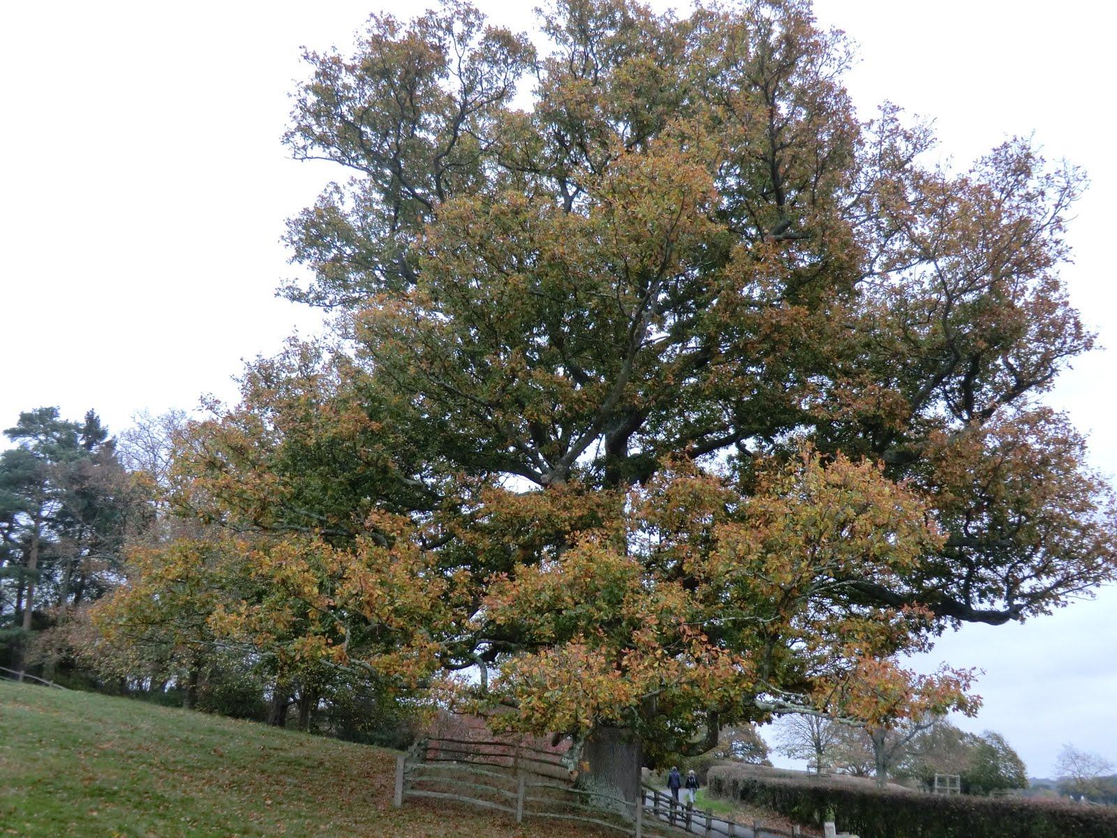 CIMG0236 Old oak tree outside Bateman's