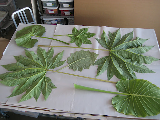 More leaves ready to be pressed