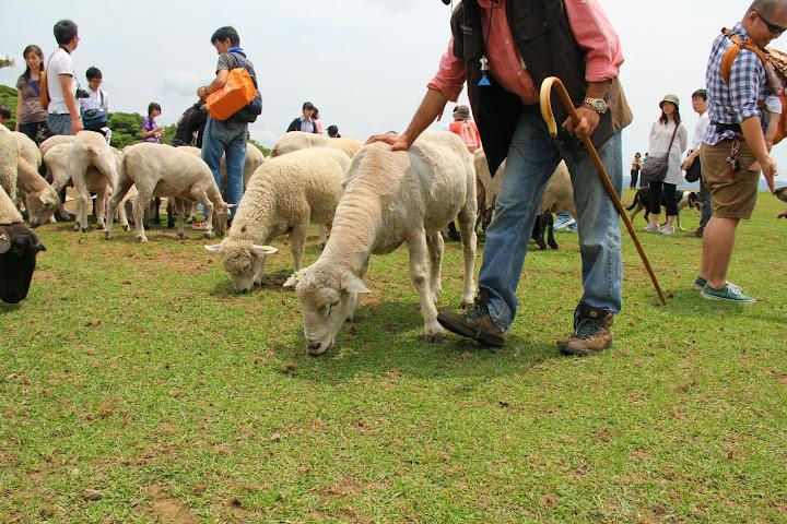 羊と戯れる