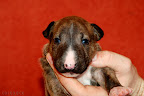 Brindle boy 2 - 3 weeks old