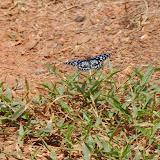 Tirumala petiverana DOUBLEDAY, (1847). Piste d'Ebogo (Cameroun), 9 avril 2012. Photo : J.-M. Gayman