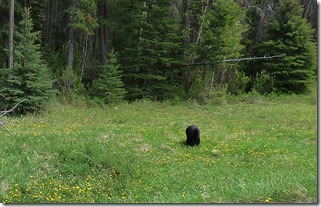 Bear at Kootenay National Park