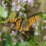 Issoria lathonia (L., 1758), femelle. Chemin de La Rodé, 600 m, Cocurès (Lozère), 8 août 2013. Photo : J.-M. Gayman