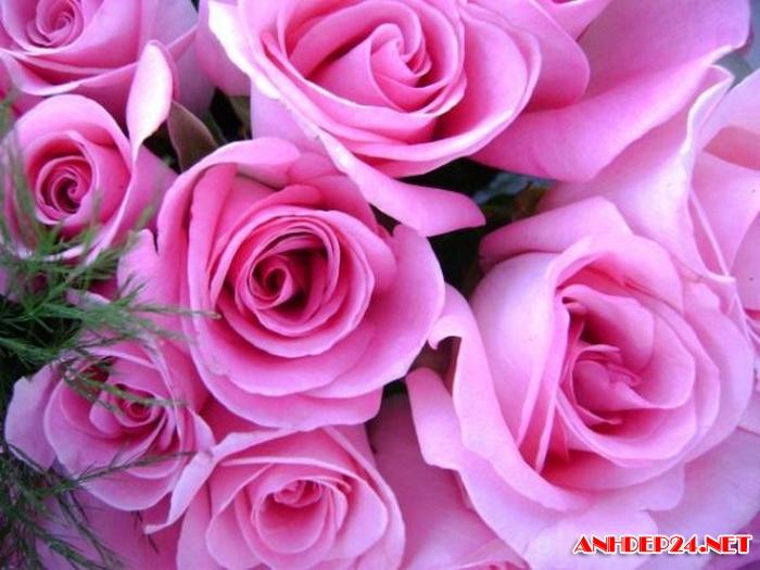 Ảnh Đẹp Hoa Hồng Tuyệt đẹp