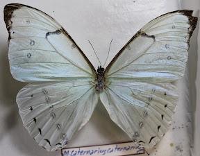 CATERNARIUS CATERNARIUS.JPG
