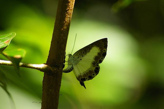 Riodinidae : Juditha molpe HÜBNER, 1808, femelle, peut-être occupée à pondre. Bagne des Annamites, Montsinéry (Guyane), 3 décembre 2011. Photo : J.-M. Gayman