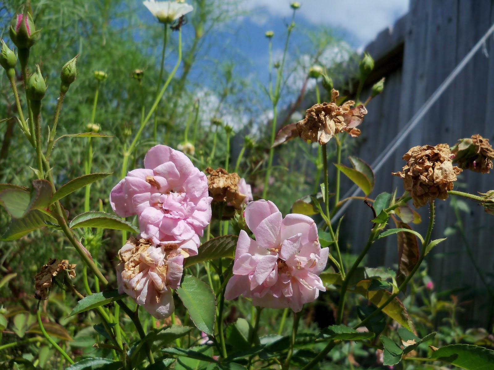 Gardening 2010, Part Three - 101_5096.JPG