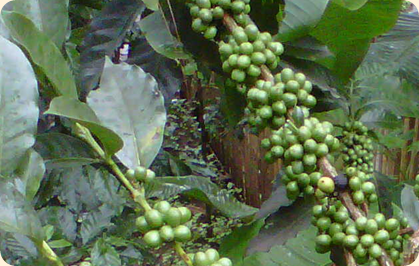 100% Green Coffee Pure - Made in the US