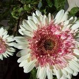 Gardening 2009 - 101_3730.JPG