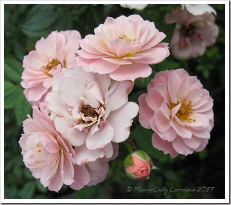 04-15-tea-rose