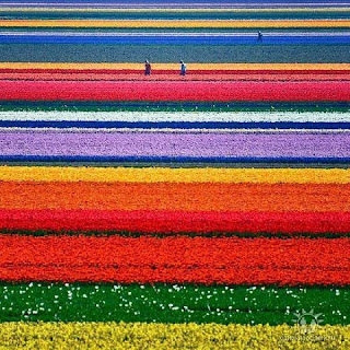 campi fiori Keukenhof