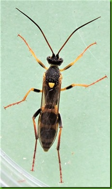 Amblyteles armatorius wasp August 2017 (1)
