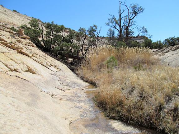 Fallen ponderosa pine at a spring