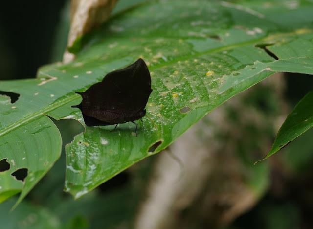 Memphis arachne psammis (C. & R. Felder, 1867). Fundo Palmarito, 265 m (Yopal, Casanare, Colombie), 8 novembre 2015. Photo : J.-M. Gayman