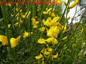 Genet d'espagne, Spartium junceum.jpg