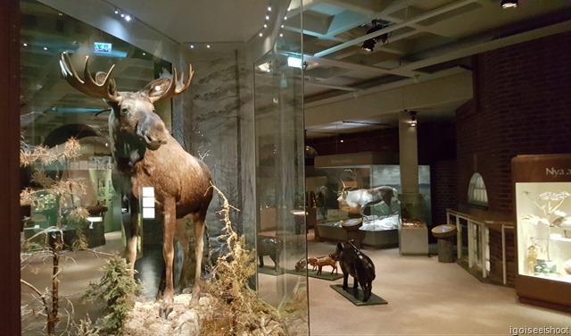 Stuffed moose at the Natural History Museum (Naturhistoriska riksmuseet) in Stockholm.