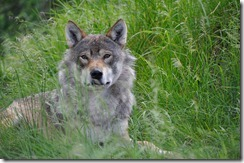 loup sauvage2