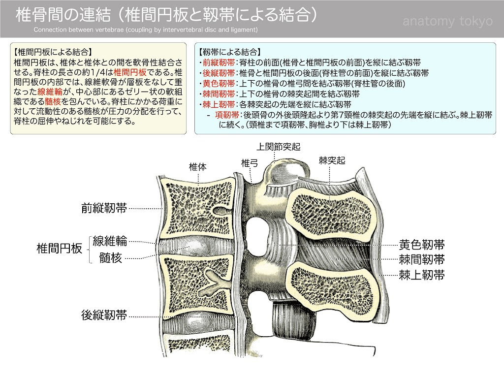 2017-a17Connection-between-vertebrae-(coupling-by-intervertebral-disc-and-ligament).jpg