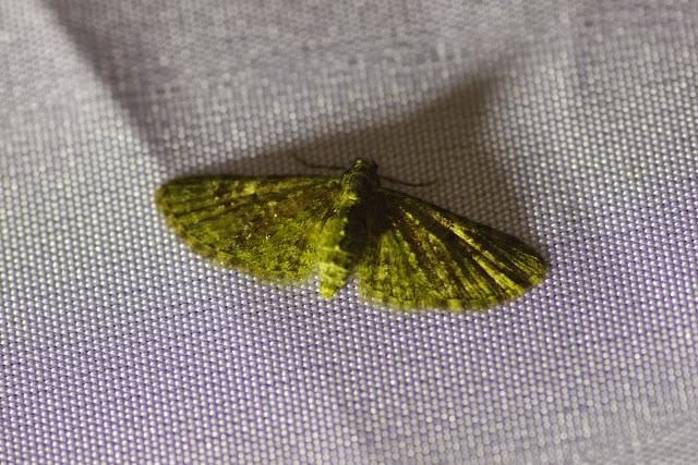 Larentiinae : Eupithecia sp. Mount Totumas, 1900 m (Chiriquí, Panamá), 24 octobre 2014. Photo : J.-M. Gayman