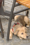 Polish puppy