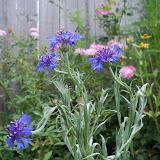 Gardening 2010, Part Three - 101_4831.JPG