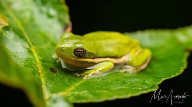 Tree Frog, a Type of Tree Frog In the America