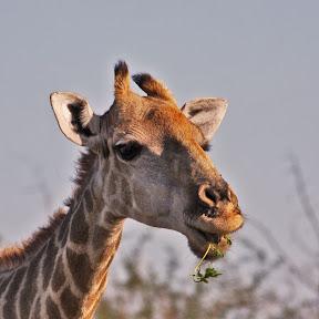 Giraffe Juvenile, South Africa