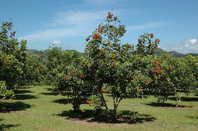 agriculture by faisal: BUDIDAYA RAMBUTAN