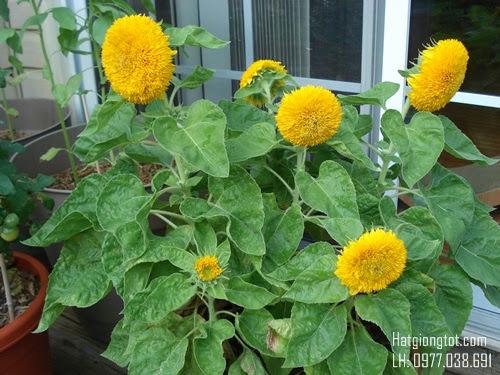 Hạt giống hoa hướng dương kép cao